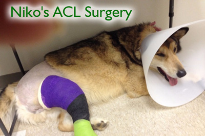 Niko after ACL surgery